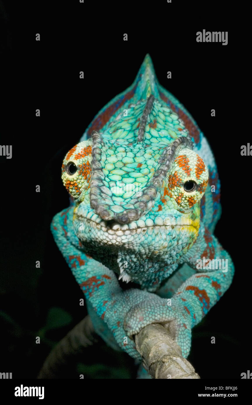 Panther Chameleon (Furcifer pardalis) Male WESTERN MADAGASCAR - Stock Image
