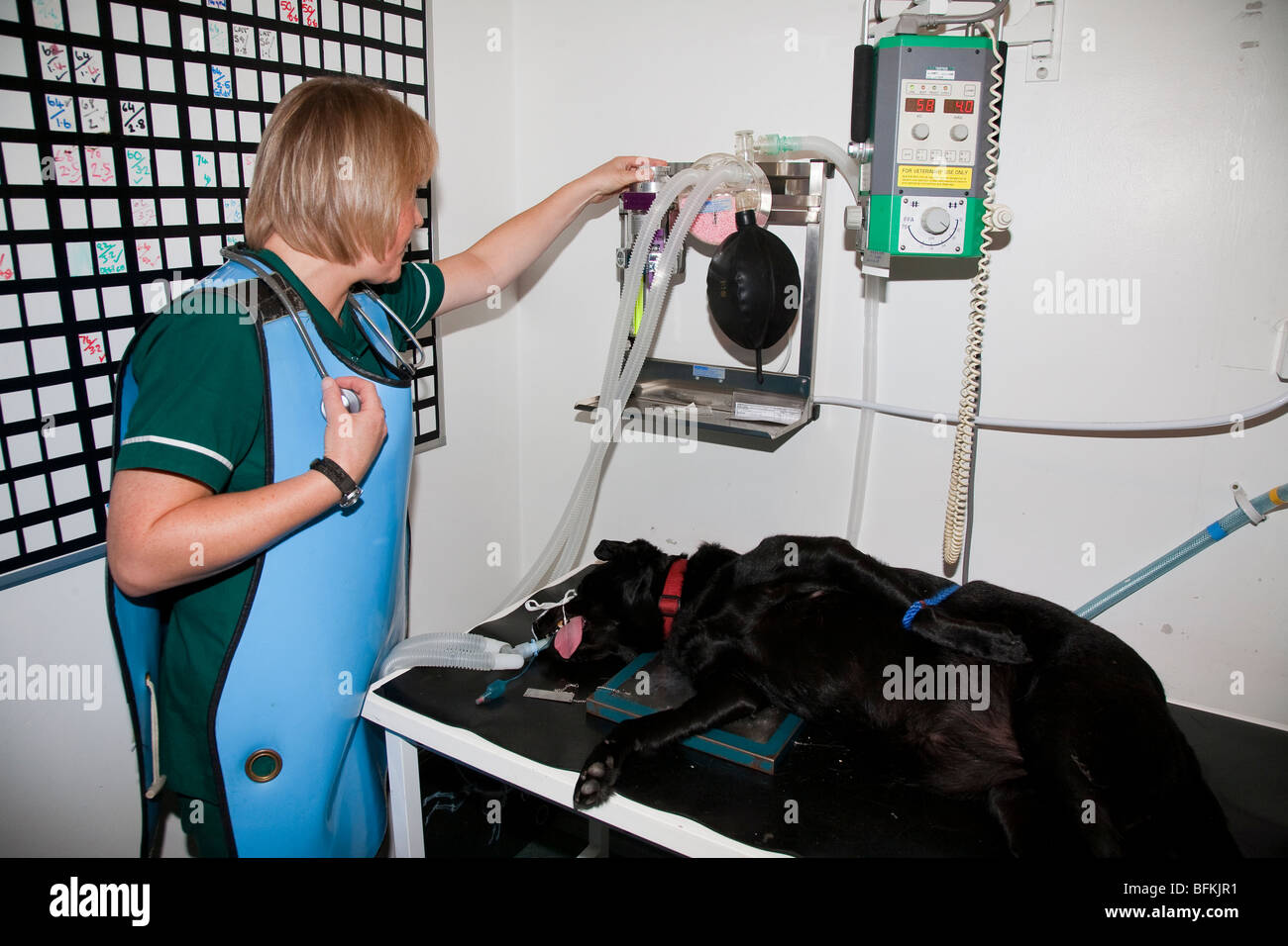Anaesthetised Dog Being Monitored by a Veterinary Nurse Stock Photo