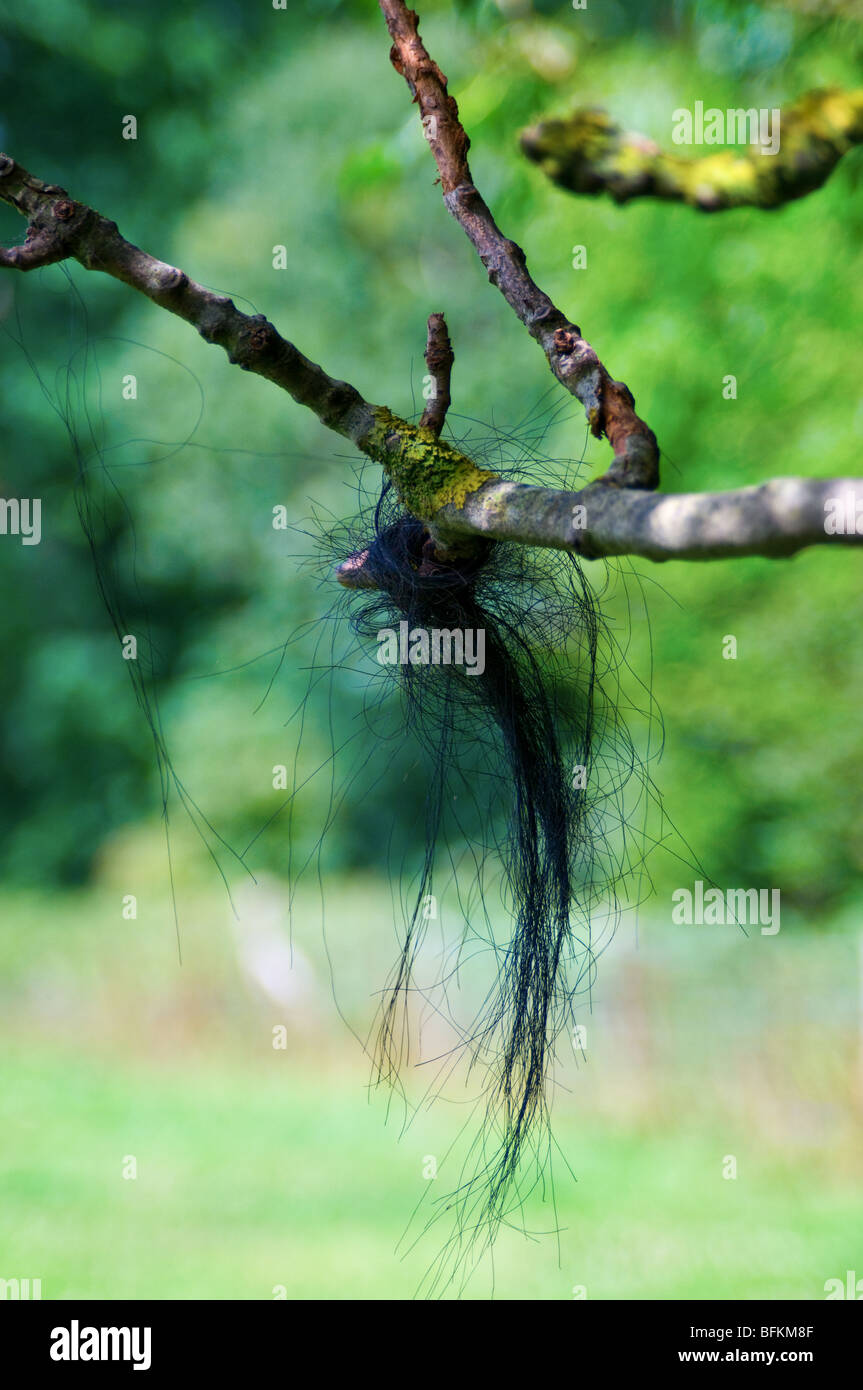 Black horse hair tangled in a tree branch. View from the side. Close up (macro) - Stock Image