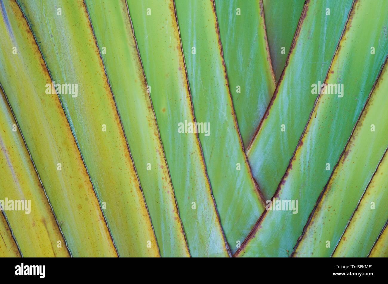 Traveler's Palm; Wailea, Maui, Hawaii. - Stock Image