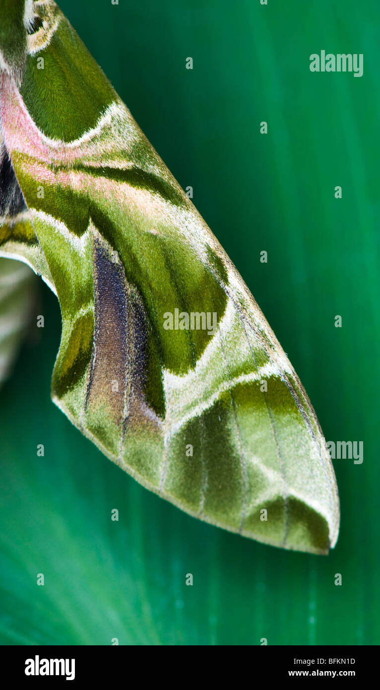 Daphnis nerii. Oleander Hawk moth. Abstract camouflage wing pattern - Stock Image