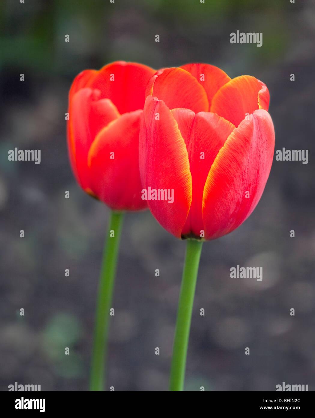 Tulip World's Favourite - Stock Image