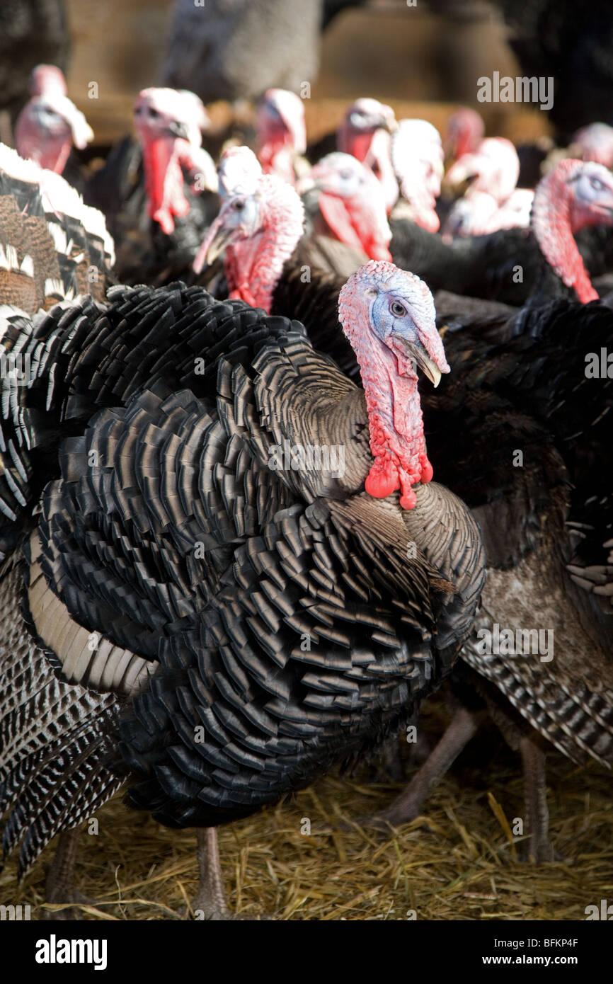 Turkeys on a farm in Norfolk - Stock Image