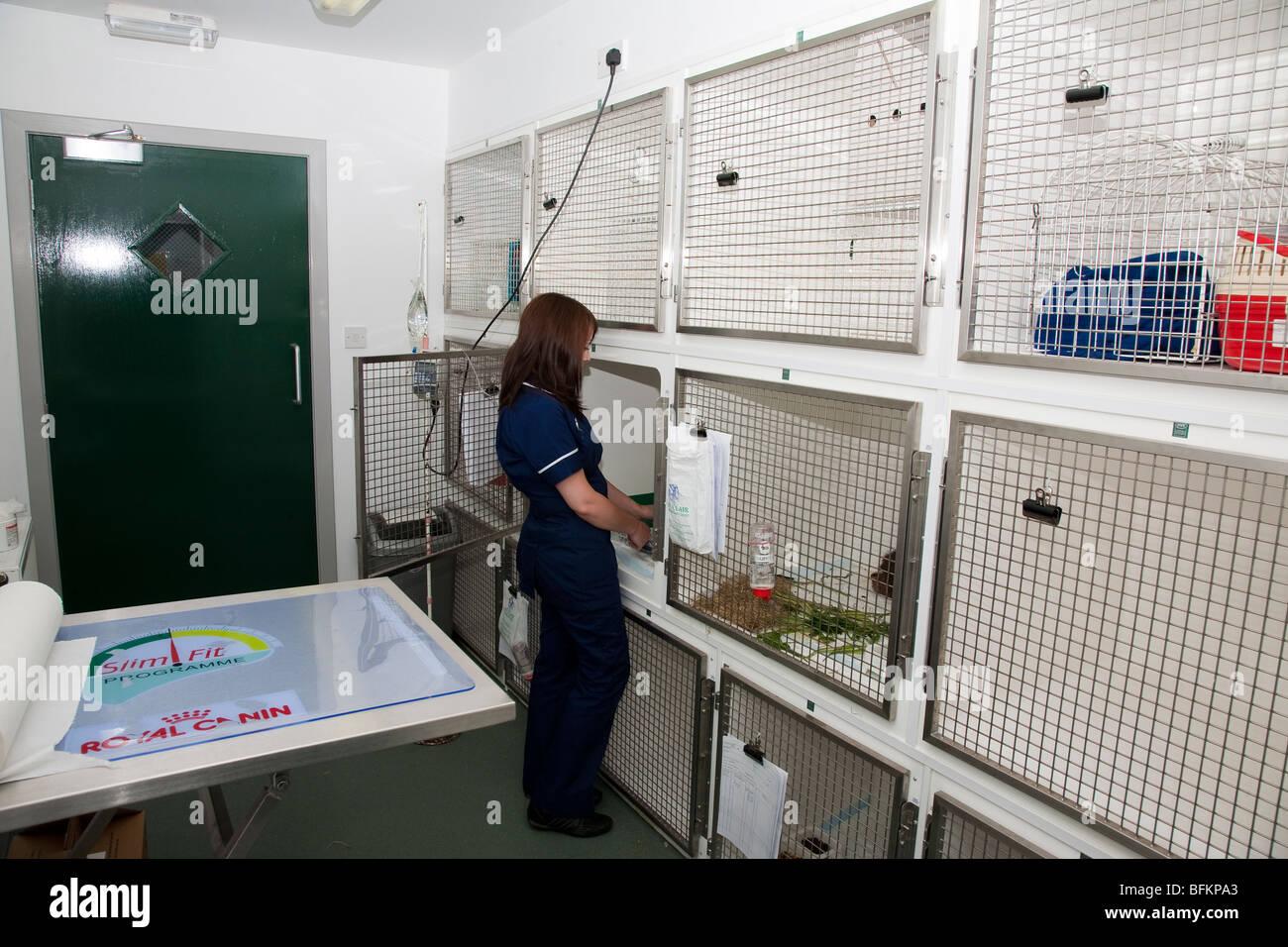 Veterinary Nurse the Cat Ward of a Veterinary Clinic - Stock Image