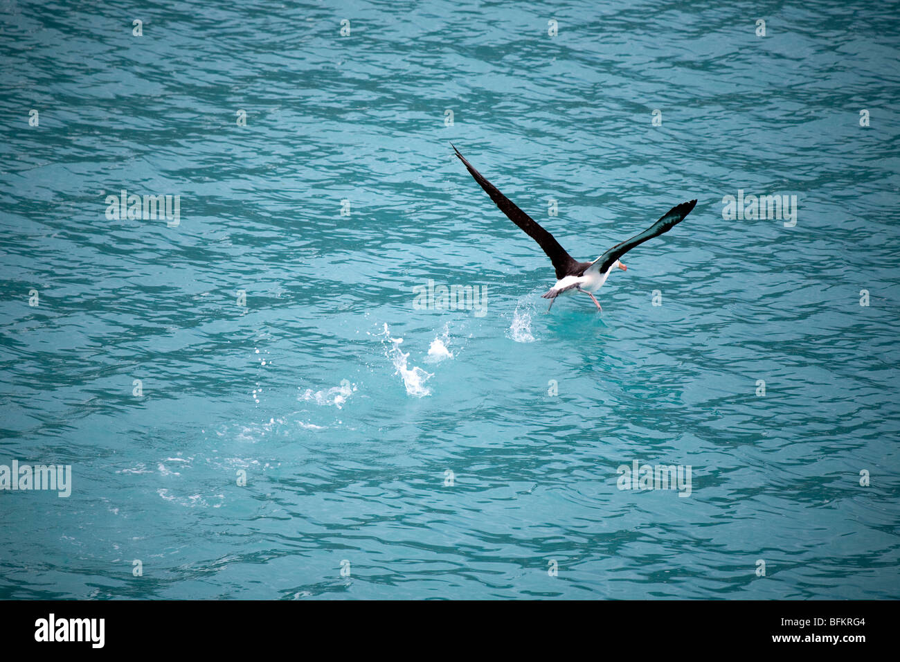 Black-browed albatross taking off from the water near Drygalski Fjord, South Georgia Island - Stock Image