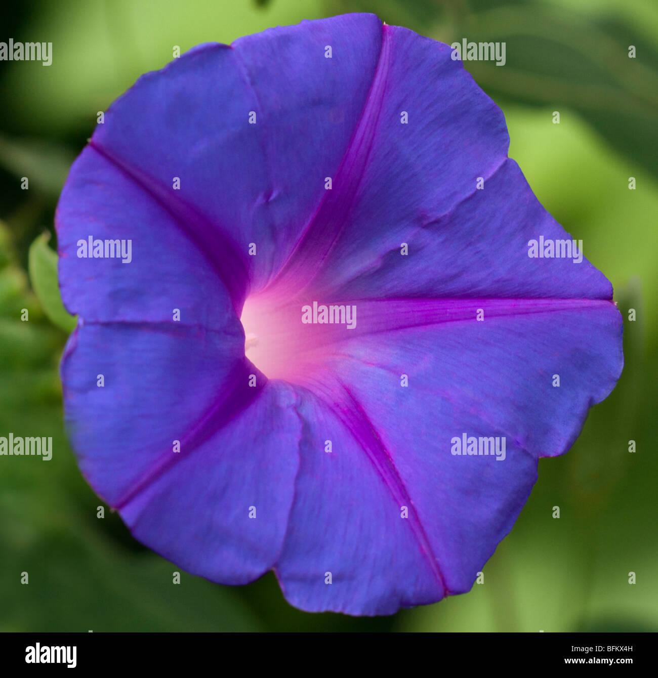 Purple Ipomoea Tricolour (Morning Glory) - Stock Image