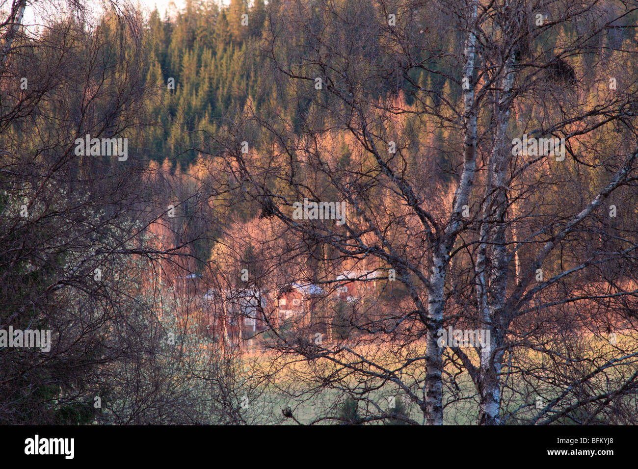 Swedish farm houses seen through the branches of a Silver Birch (Betula pendula) in spring. Vaesternorrland, Sweden. - Stock Image