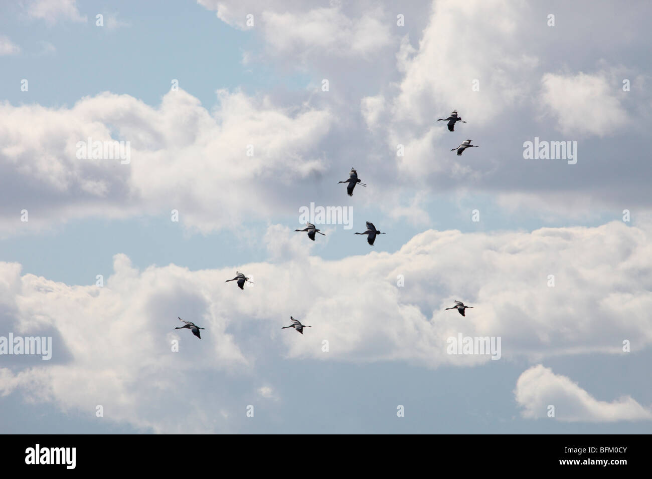 Spring Is In Air Cranes Are Returning >> Flying Eurasian Crane Stock Photos Flying Eurasian Crane Stock