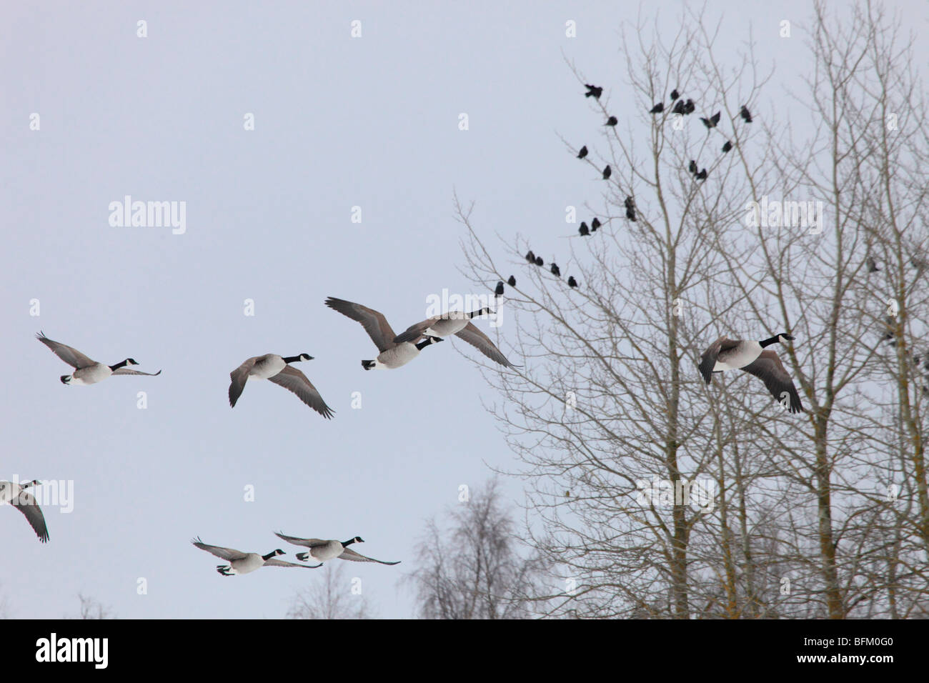 Canada geese (Branta canadensis) returning to their breeding areas in northern Sweden in spring. Vaesternorrland, - Stock Image