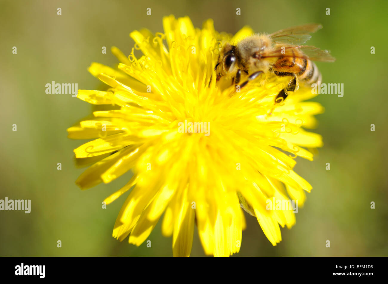 Honey bee on dandelion flower - Stock Image