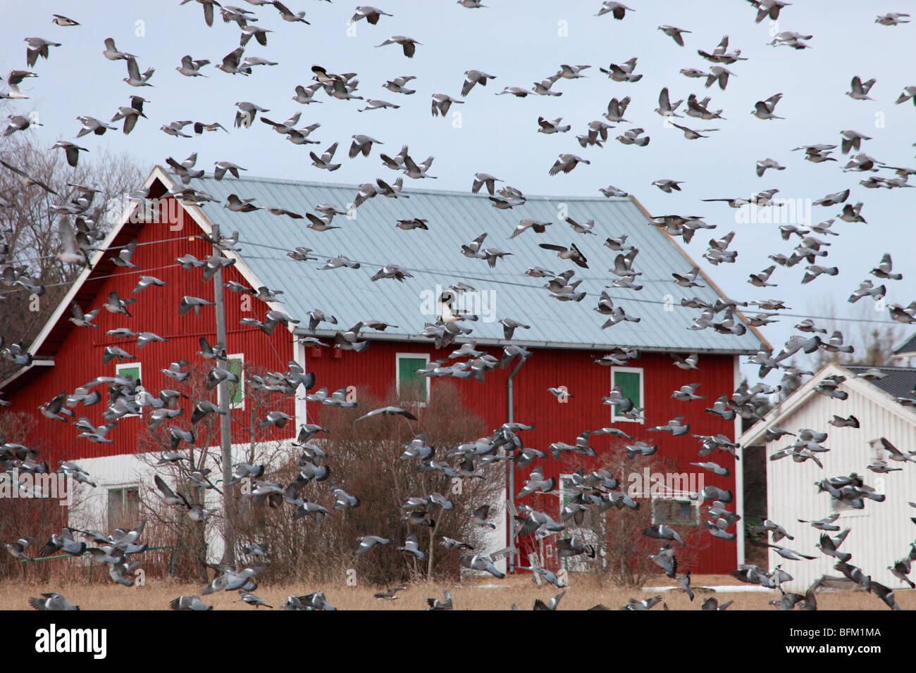 Large flocks of migratory Wood pigeons (Columba palumbus)  return to their breeding areas in northern Sweden. - Stock Image