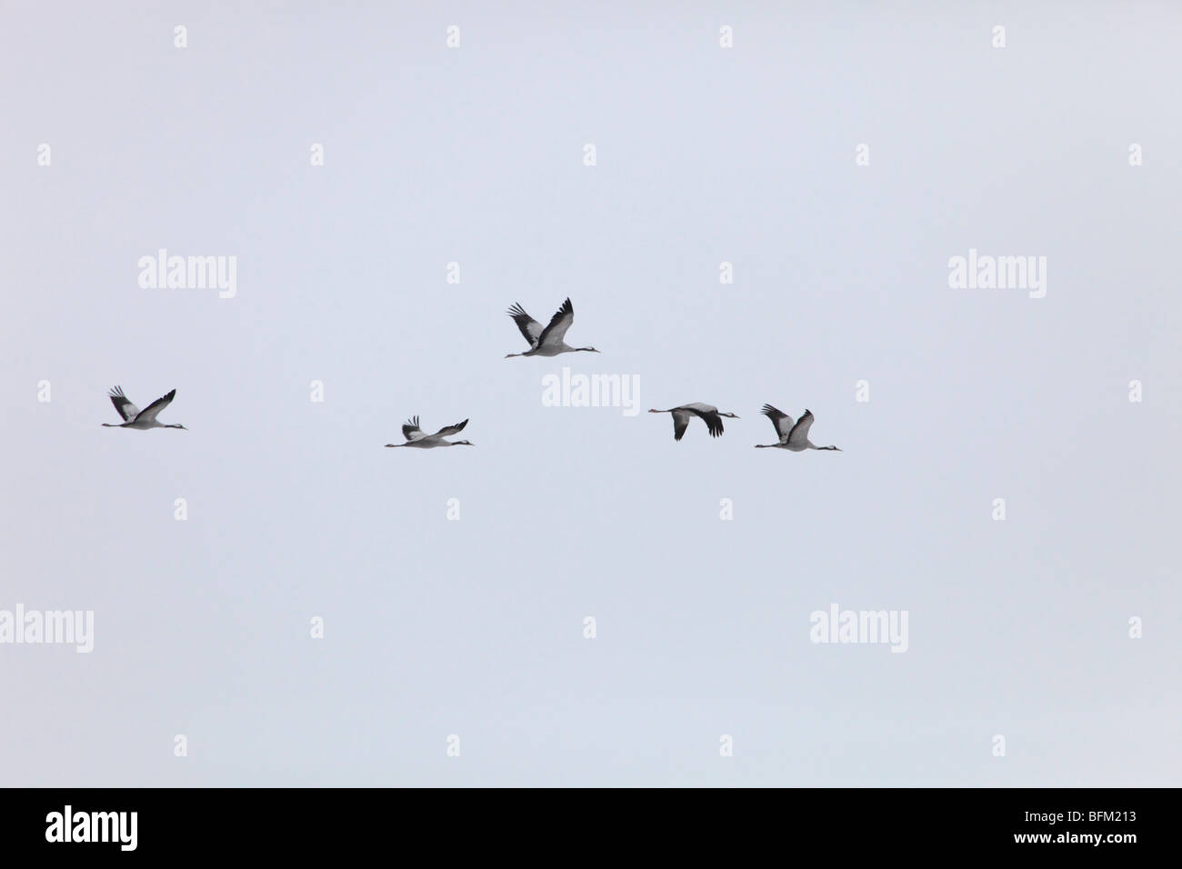 Spring Is In Air Cranes Are Returning >> Common Crane Grus Grus Returning To Their Breeding Areas In Stock