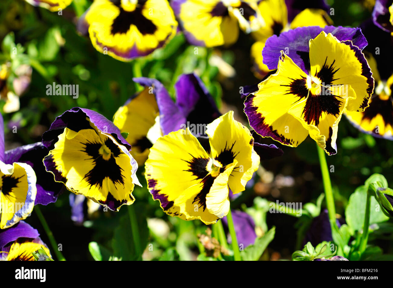 Pansies aka pansy violets (Viola tricolor hortensis) - Stock Image