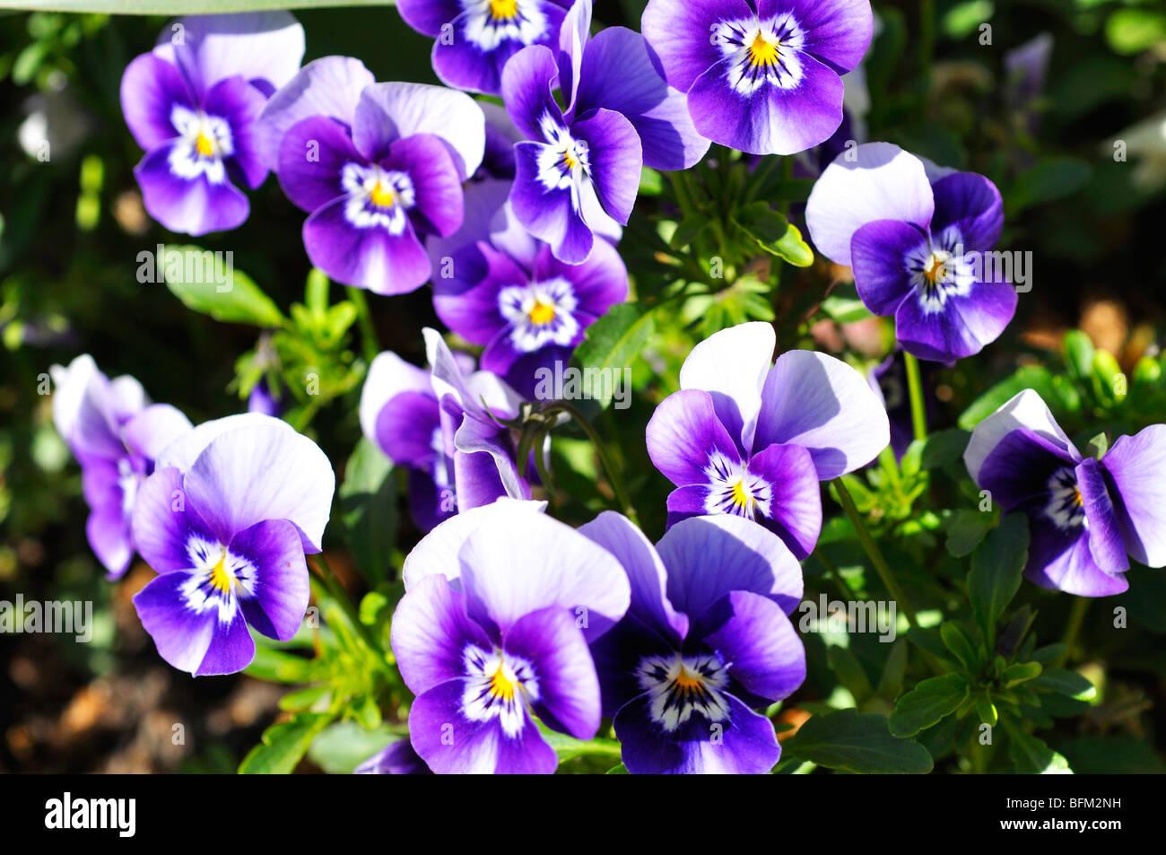 Pansies aka pansy violets (Viola tricolor hortensis) - Stock Image