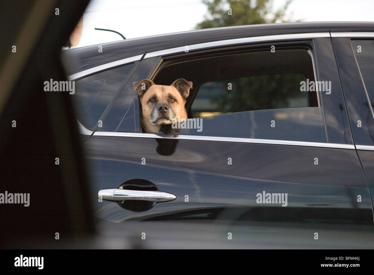dog peeking out of a car window at an intersection - Stock Image