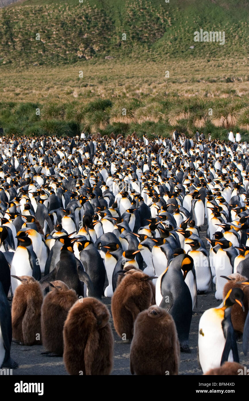 The huge KIng Penguin colony at Gold Harbour, South Georgia Island - Stock Image