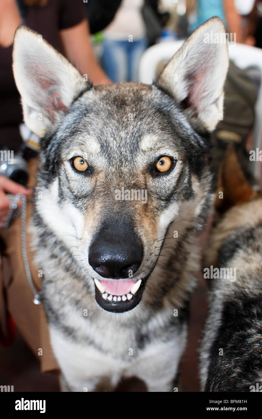 Czechoslovakian Wolfdog - Stock Image