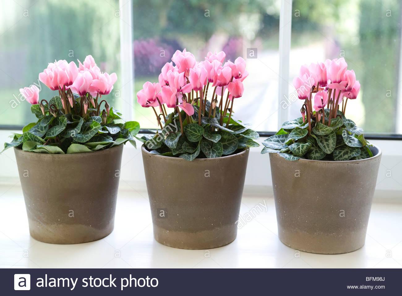 Pink Flowered Cyclamen Midi Persicum In Pots Stock Photo 26876546