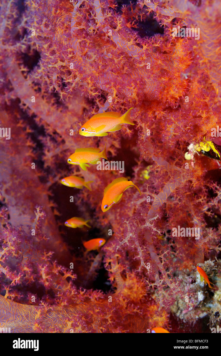 Scalefin or Lyretail anthias, Pseudanthias squamipinnis, by Dendronephthya soft coral, 'Red Sea' - Stock Image