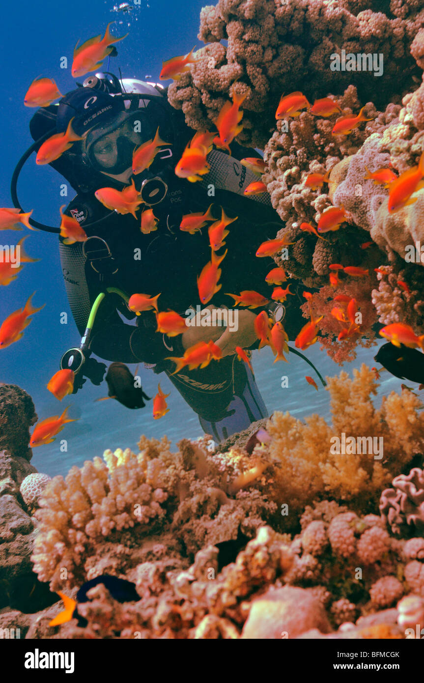 "Scuba diver watching anthias fish on coral reef, ""Red Sea"" Stock Photo"