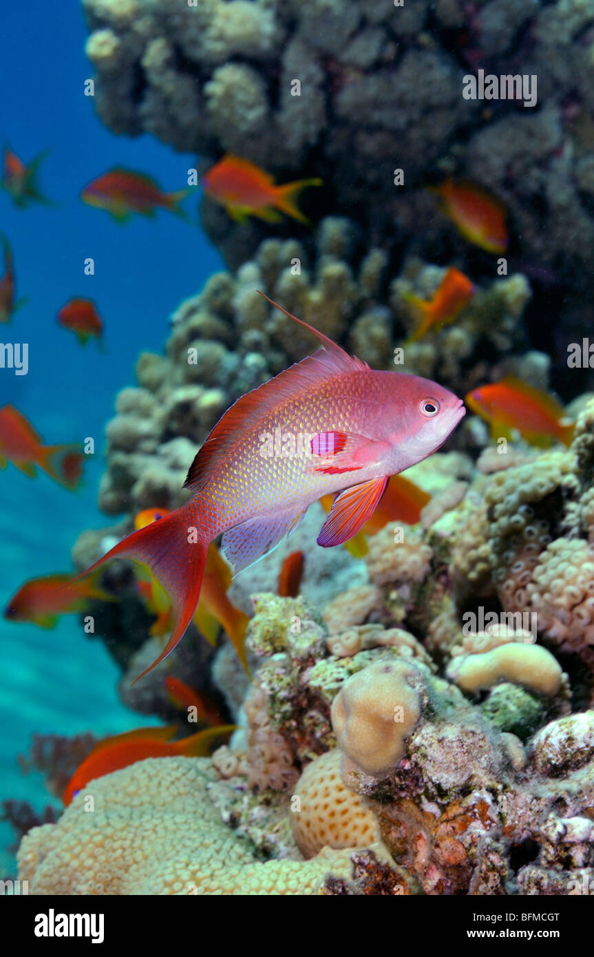 Male Scalefin or Lyretail anthias, Pseudanthias squamipinnis, fish with others on coral reef, 'Red Sea' - Stock Image