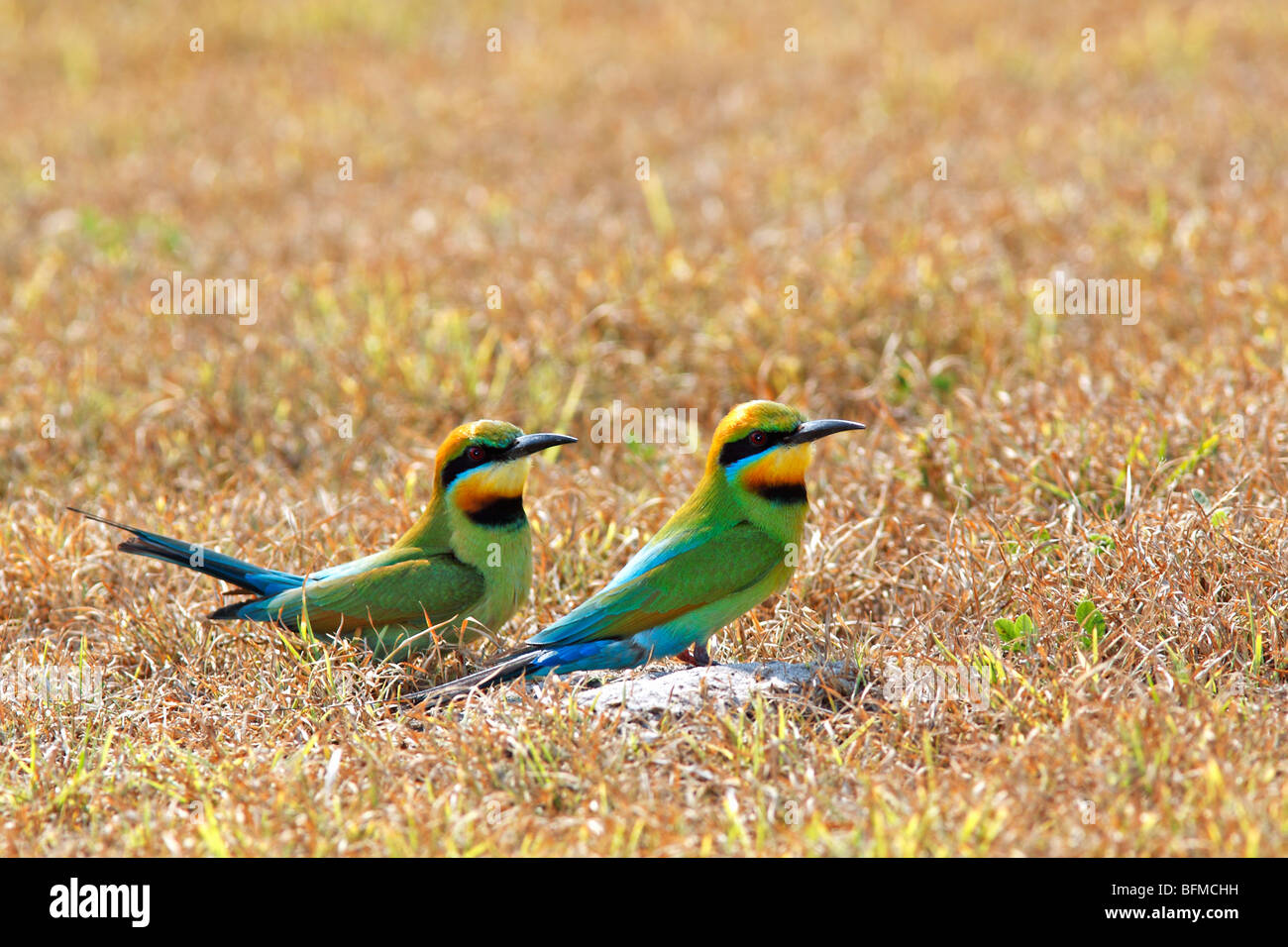 Rainbow Bee Eaters,  Merops ornatus, sitting in the ground outside their nesting tunnel - Stock Image
