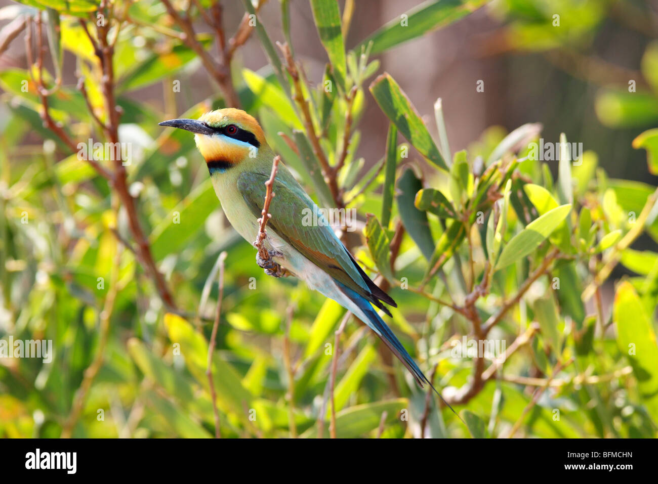 Rainbow Bee Eater,  Merops ornatus, resting on a branch - Stock Image