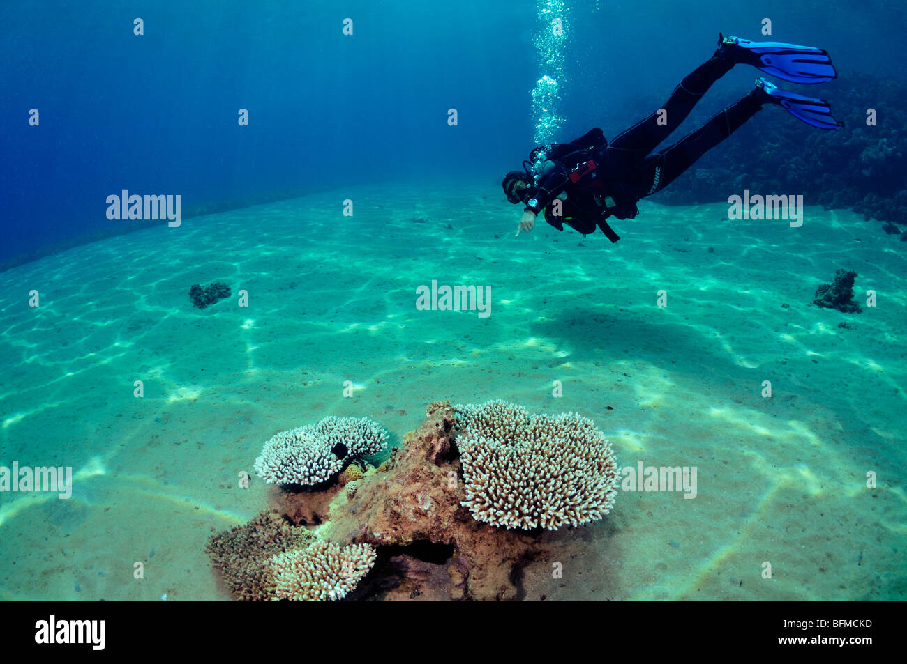 Scuba diver pointing to coral. 'Red Sea' - Stock Image