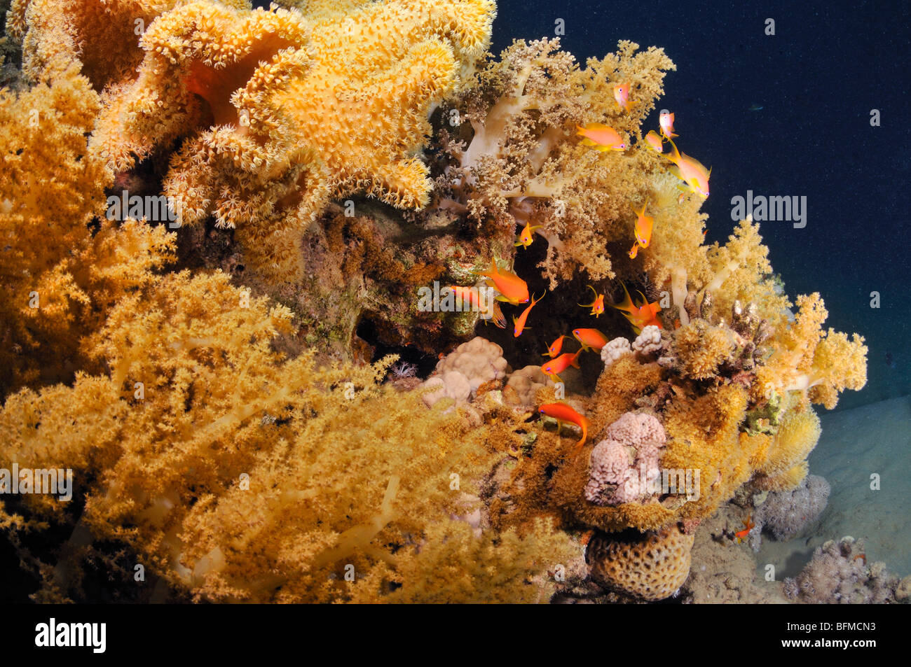 Soft alcyonarian and leather soft corals with anthias fish on coral reef, 'Red Sea' - Stock Image