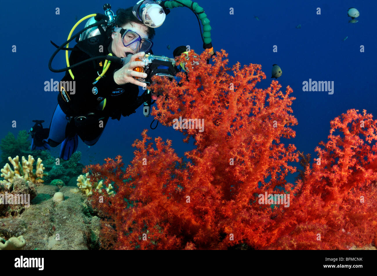 Scuba diver with compact camera on coral reef with soft corals, 'Red Sea' - Stock Image