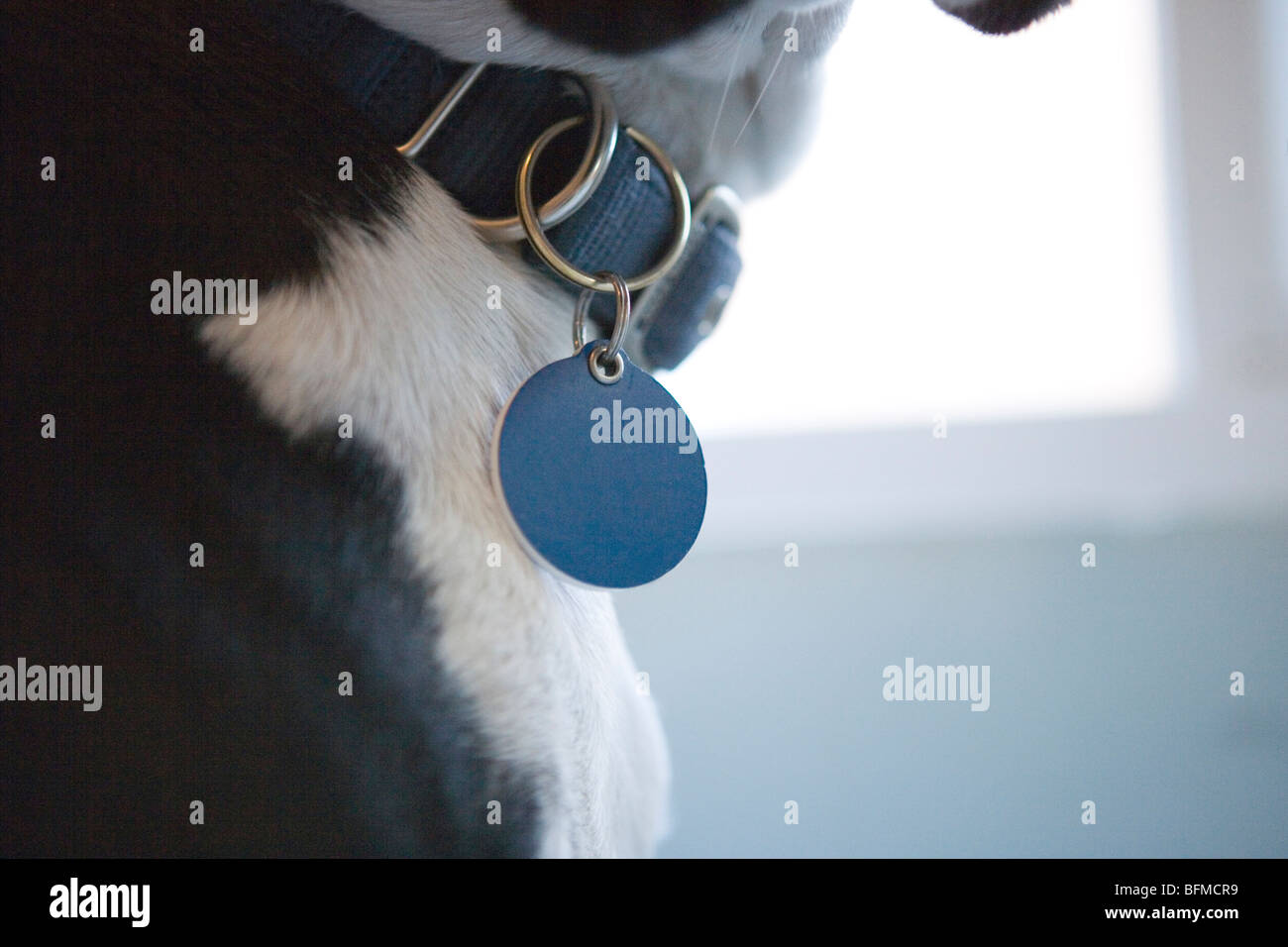 an identification tag hanging on a dog's collar, close up Stock Photo