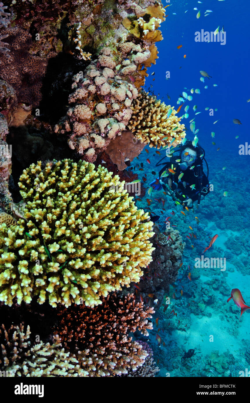 Scuba diver on coral reef wall, 'Red Sea' - Stock Image