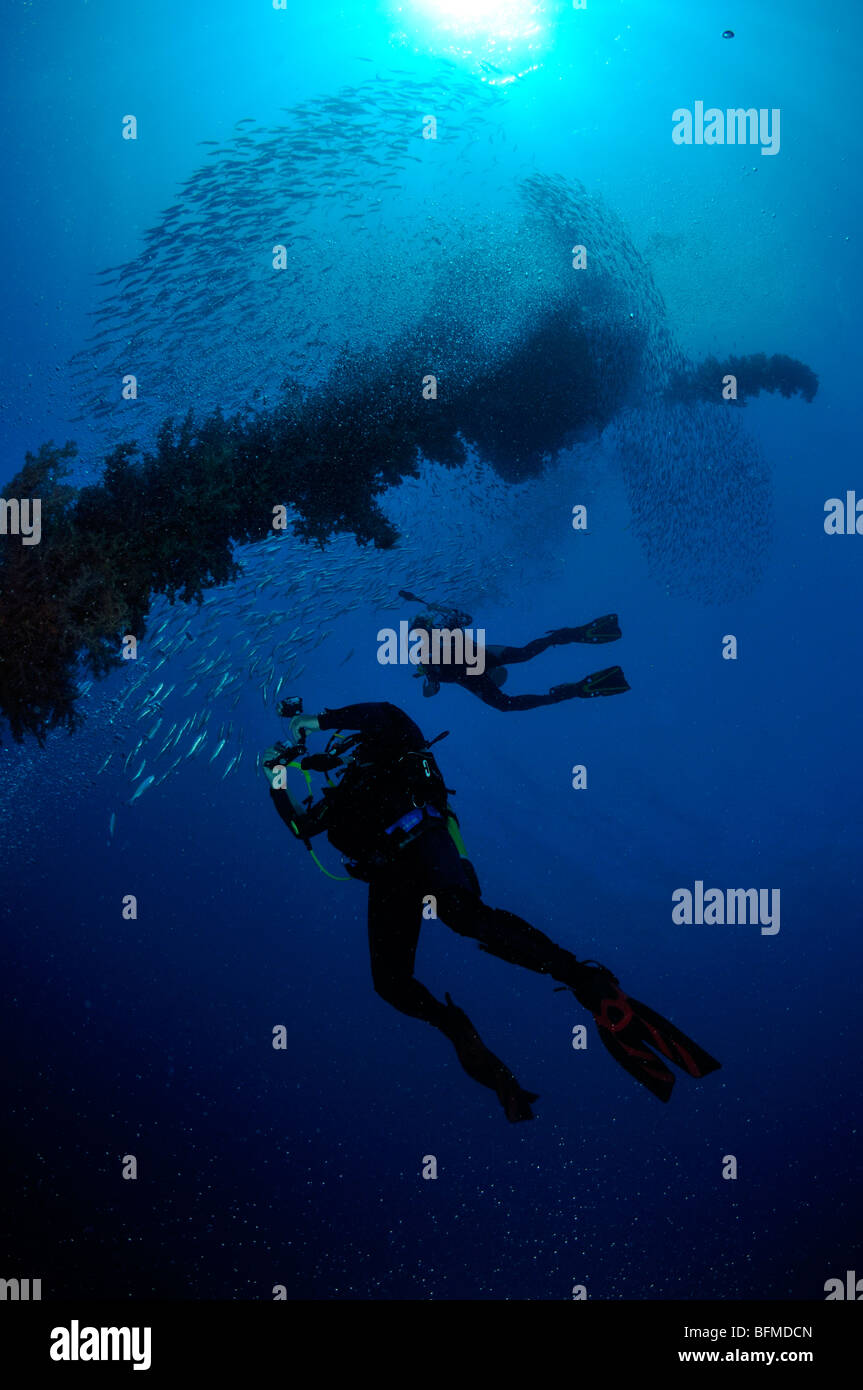 Scuba divers with shoal of fish at The Sinkers mooring buoy Nuweiba, Red Sea, Egypt - Stock Image