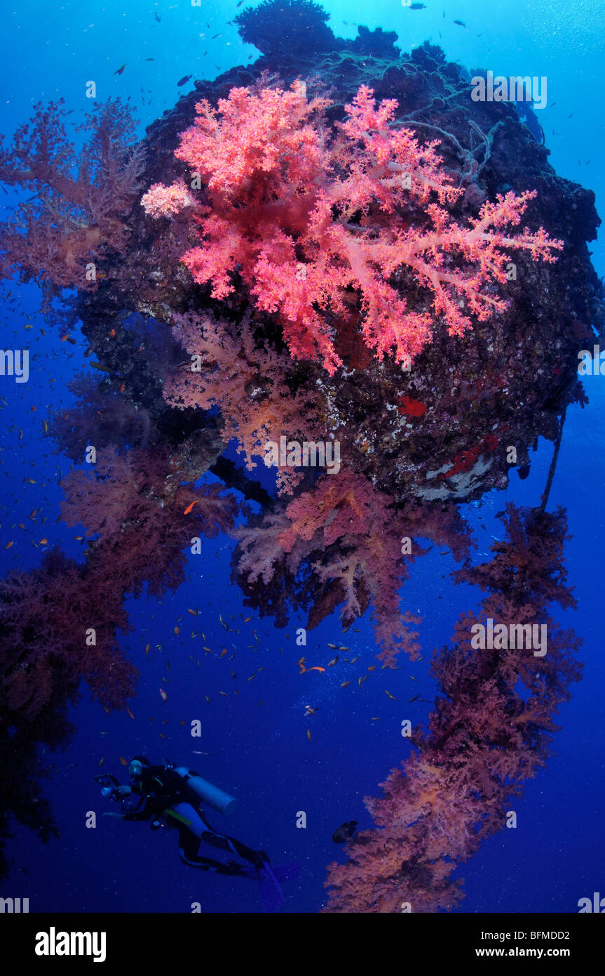 Scuba diver with colourful soft coral at MFO 'The Sinkers' mooring buoy Nuweiba, 'Red Sea', Egypt - Stock Image