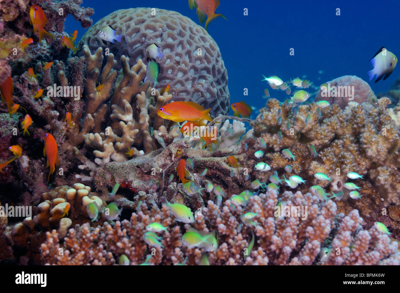 Coral reef with variety of hard corals and anthias fish, Red Sea - Stock Image