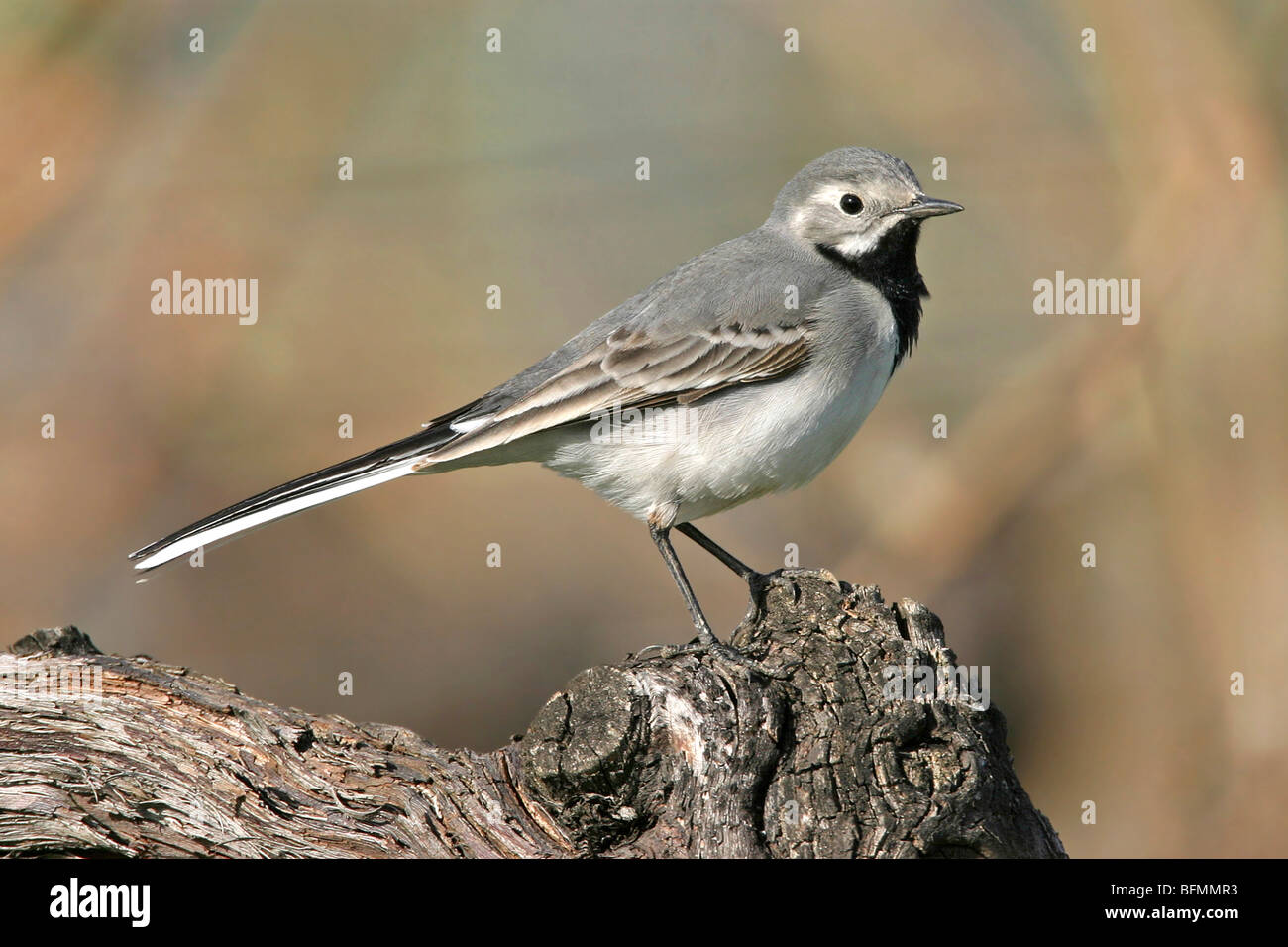 pied wagtail (Motacilla alba), sitting on a twig, Germany - Stock Image