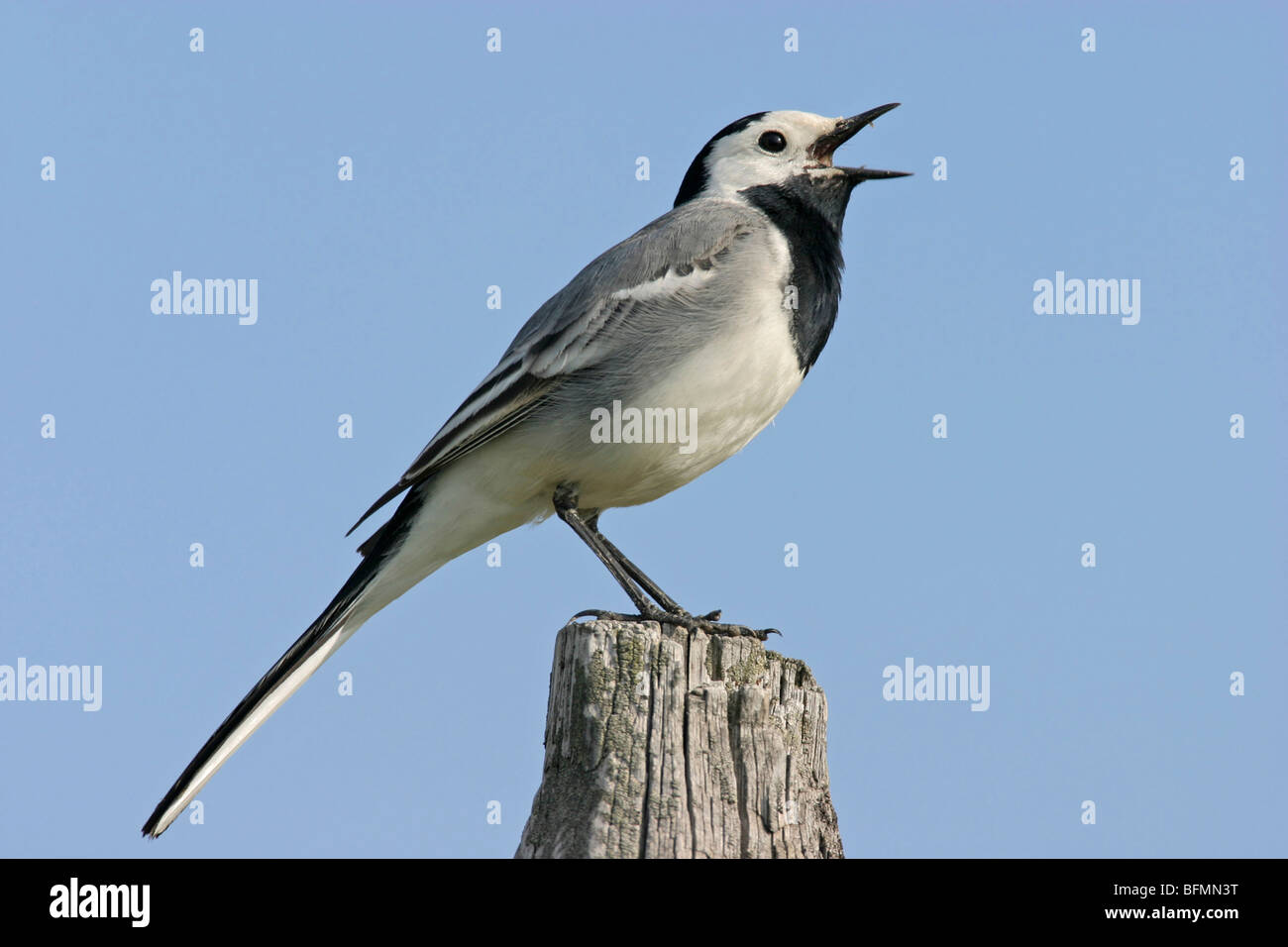 pied wagtail (Motacilla alba), on post singing, Germany - Stock Image