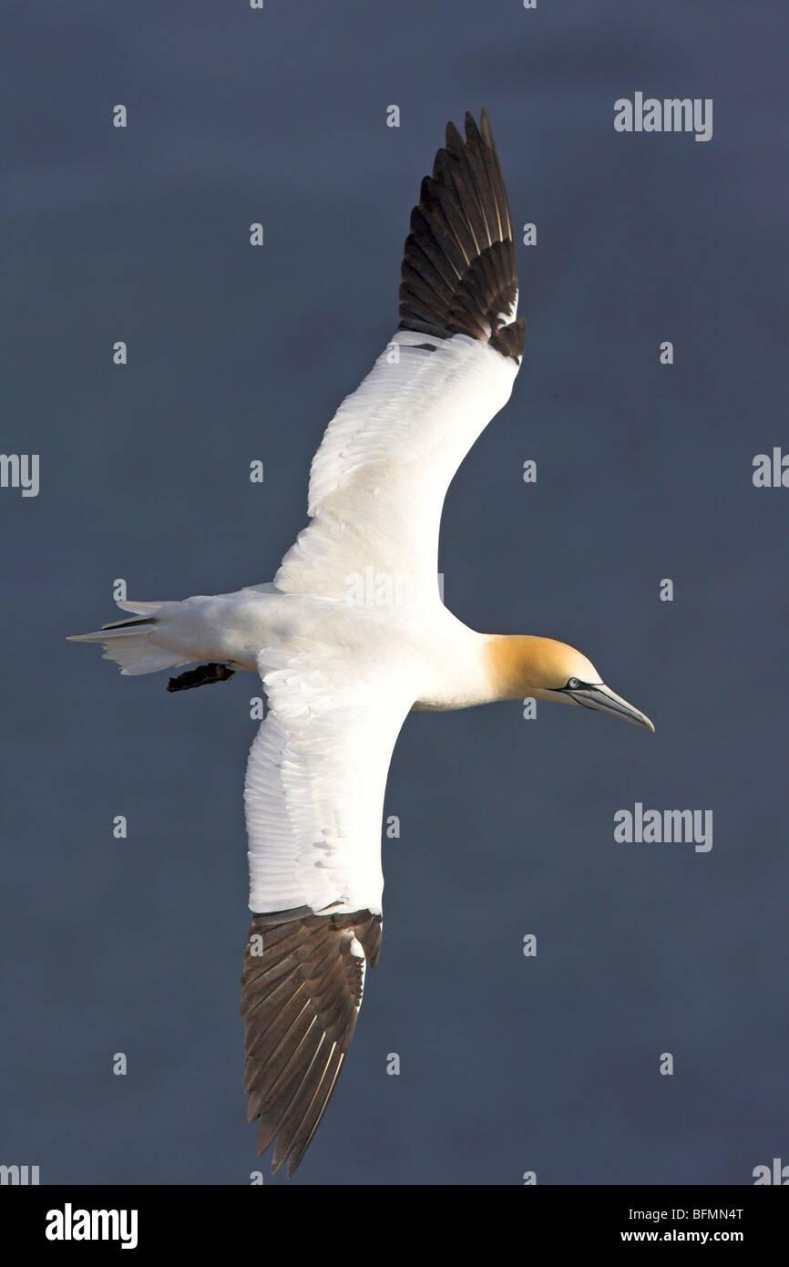 northern gannet (Sula bassana, Morus bassanus), flying, Germany - Stock Image