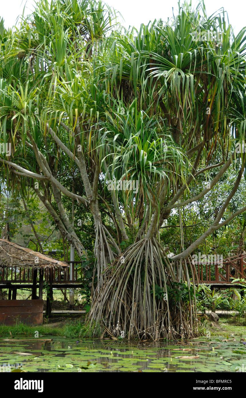 Pandanus pulcher palm or Screw Pine with Stilt or Prop Roots, Sabah State Botanical Gardens, Kota Kinabalu, Sabah, - Stock Image
