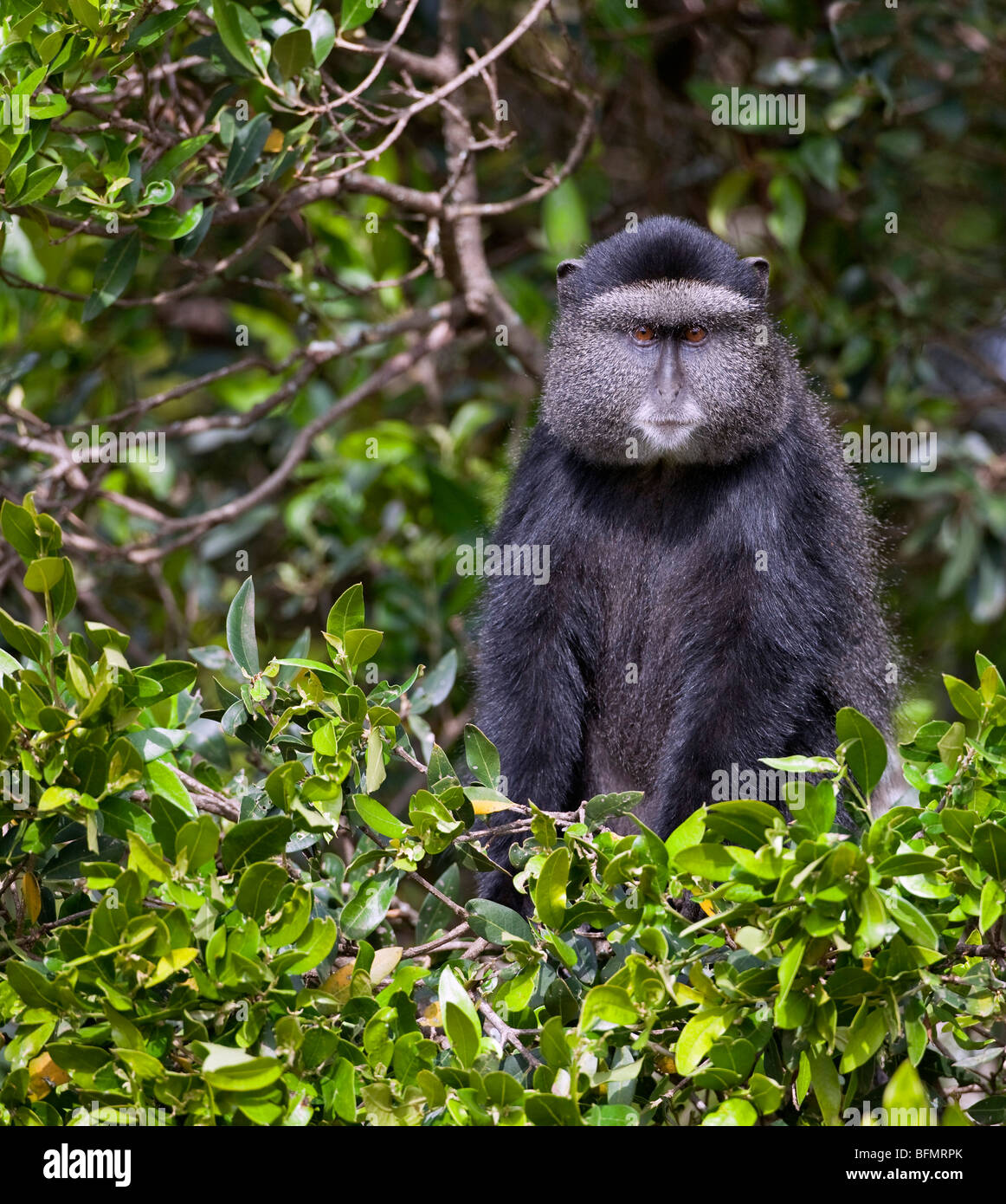 A Blue Monkey in the forests of Mount Elgon, Kenya  s second highest mountain of volcanic origin. - Stock Image