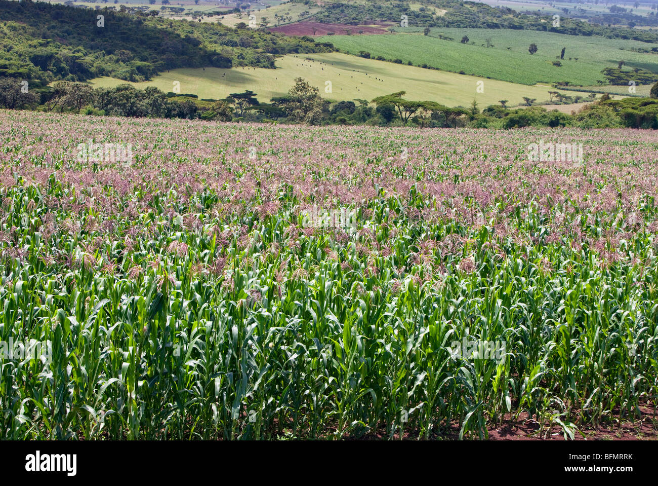 Kenya. A healthy crop of white maize growing at Endebess.  Maize is the staple food of all Kenyans. - Stock Image