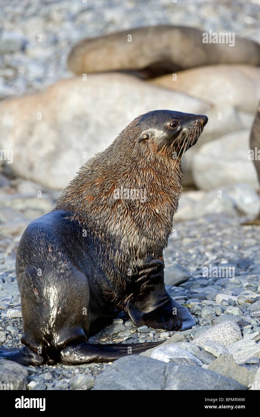 Antarctica, Half Moon Bay. A male colony of Antarctic Fur Seal, Arctocephalus gazella, dry off on the stony beach. Stock Photo