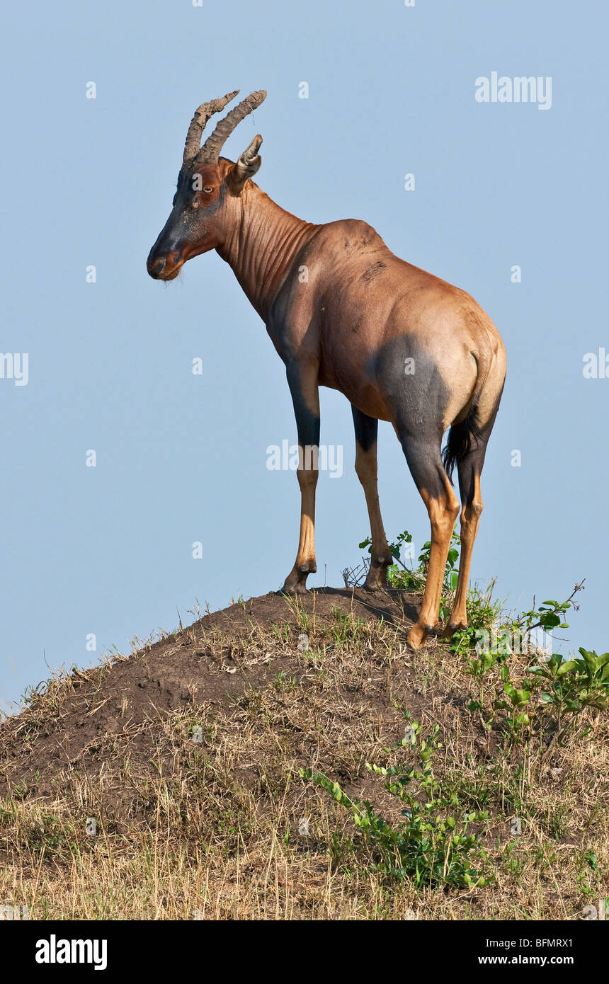 Kenya. A Topi stands on a termite mound in Masai Mara National Reserve. - Stock Image