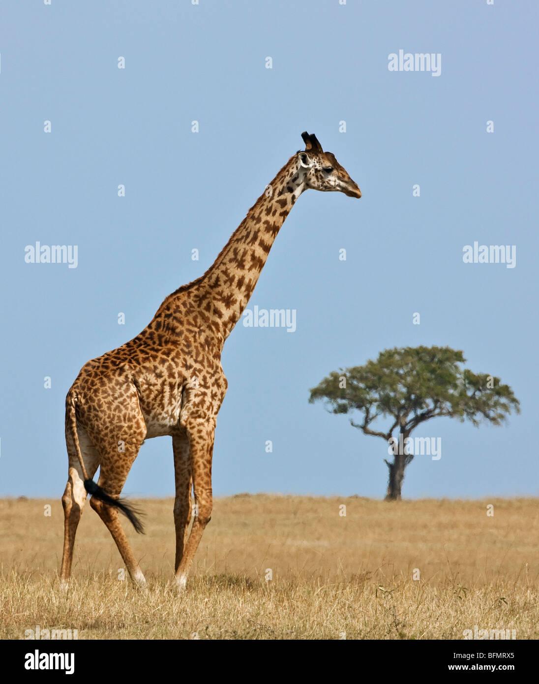Kenya. A Masai giraffe crosses the vast grass plains in Masai Mara National Reserve. - Stock Image