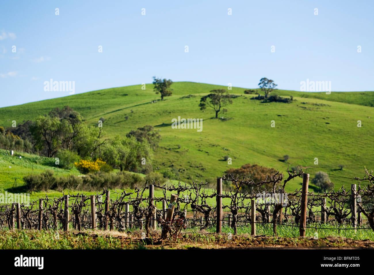 Australia, South Australia, Barossa Valley.  Vineyard grape vines. - Stock Image