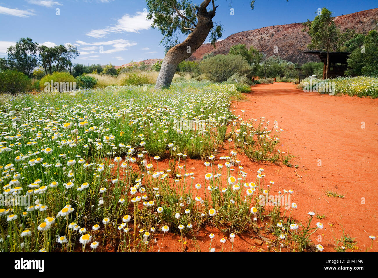 Australia, Northern Territory, Alice Springs.  Wildflowers in the Alice Springs Desert Park. - Stock Image
