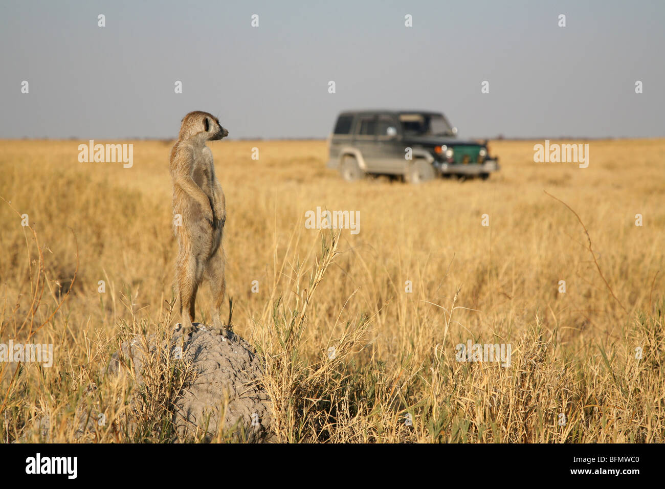 Botswana, Makgadikgadi. A meerkat watches a 4x4 drive through the grasslands of the Makgadikgadi. - Stock Image