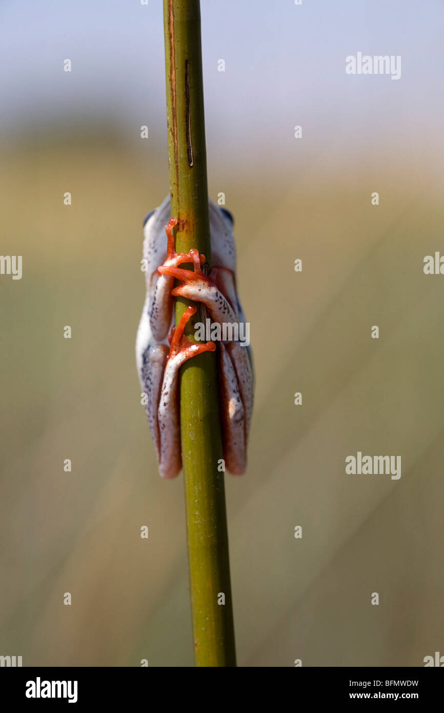 Botswana, Okavango Delta. A painted reed frog clings to a reed. - Stock Image