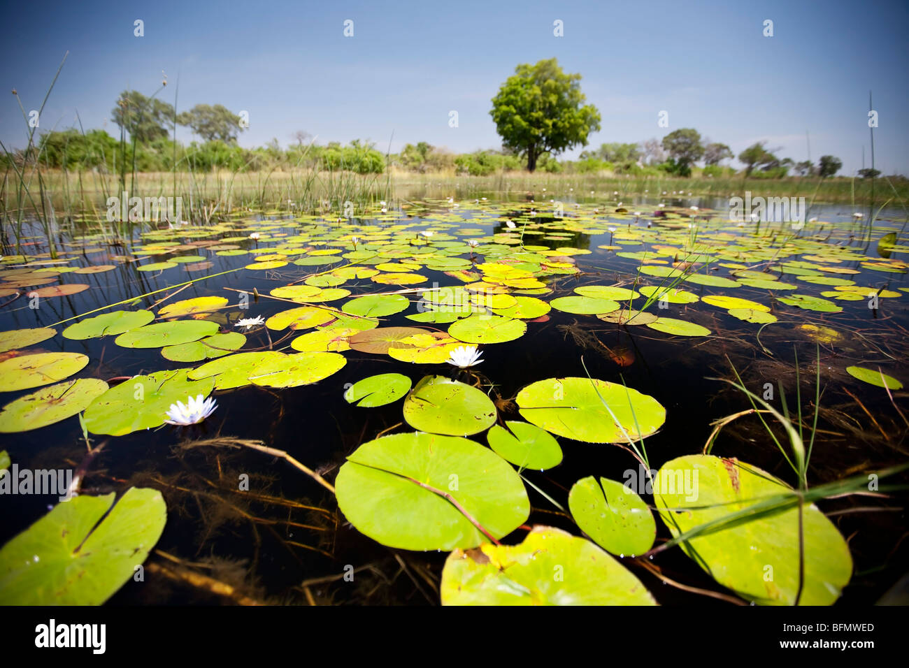 Botswana, Okavango Delta. Lilys cover the surface of the crystal clear waters of the Okavango Delta. - Stock Image