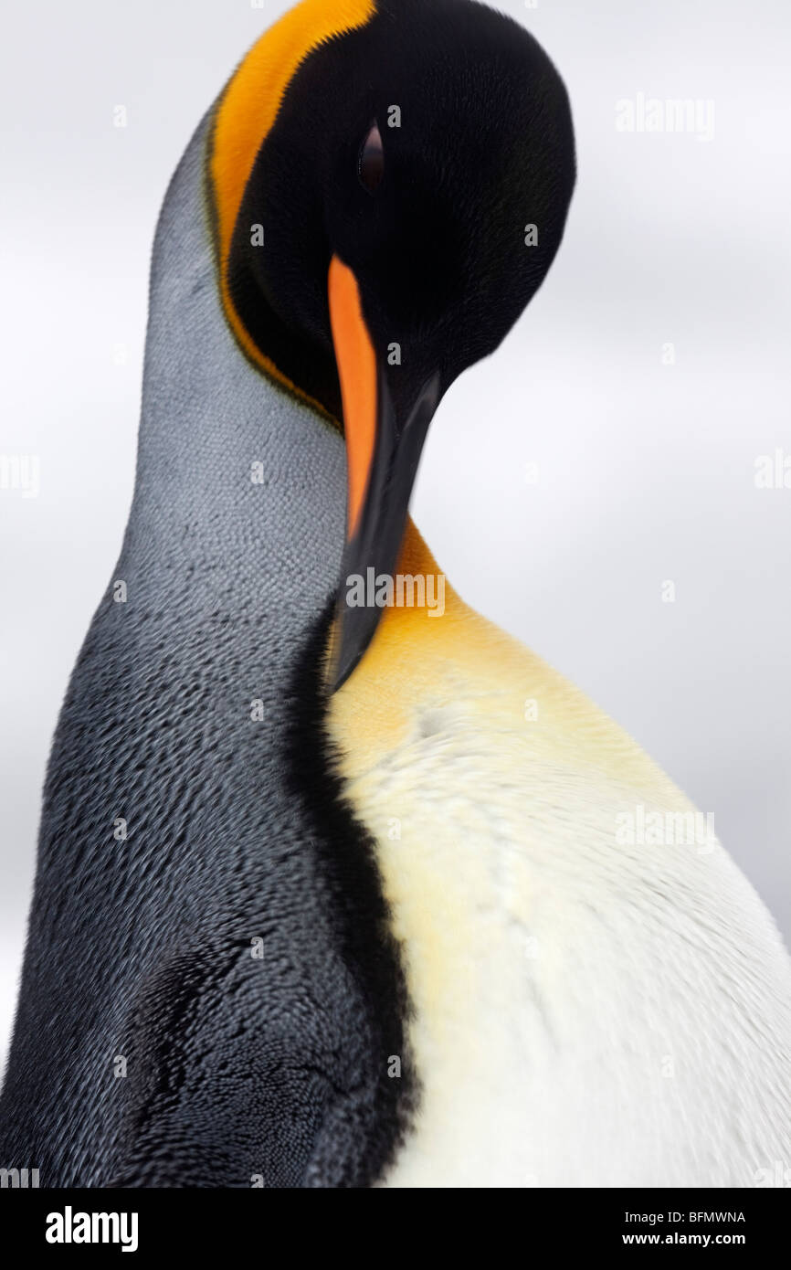 South Georgia and the South Sandwich Islands, South Georgia, Cumberland Bay, Grytviken. Detail of King Penguin. - Stock Image